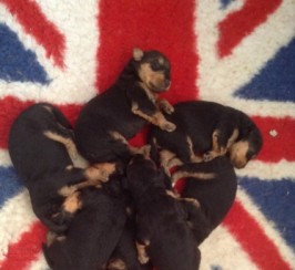 Quality Airedale Puppies