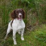 Springer Spaniel Dog Pup.black.white.rdy 1week.