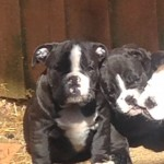 Quality Old English Bulldog Puppies For Sale
