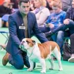 Beautiful British Bulldog Litter