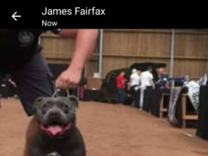 Not To Be Missed Exellent Bred Blue Staff Pups 2 L