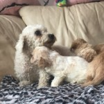 3 Beauty Cavachon Puppies F1