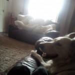 German Shepherd Pups Ready Saturday