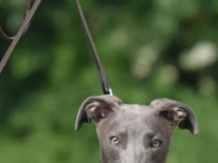 Stunning Blue Lurcher Pup