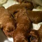 Stunning Litter Of Health Tested Cavapoo Poppies