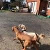 Pets for Sale - Wirehaired Vizla Cross Golden Doodle