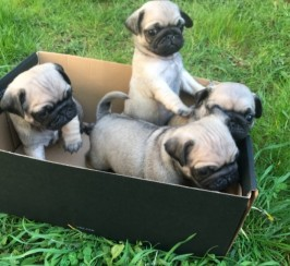 Ready To Leave Pug Puppies