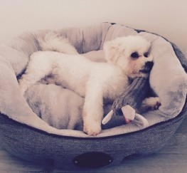 Pets  - Bichon Frise For Sale And Everything He Needs