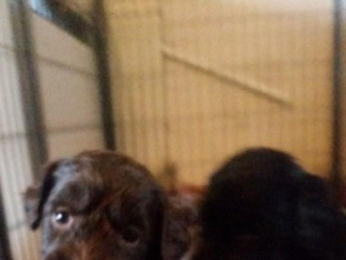 Springapoo Puppies