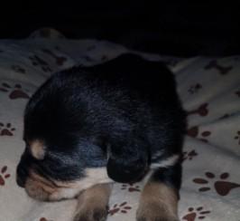 Beagel Cross Labrador