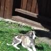 Pets  - Kc Reg Whippet Pups