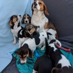 Beagle Puppies For Sale Read Soon
