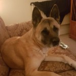 Female Akita Looking For Loving Home.