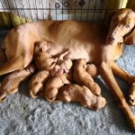 Stunning Hungarian Vizsla Puppies
