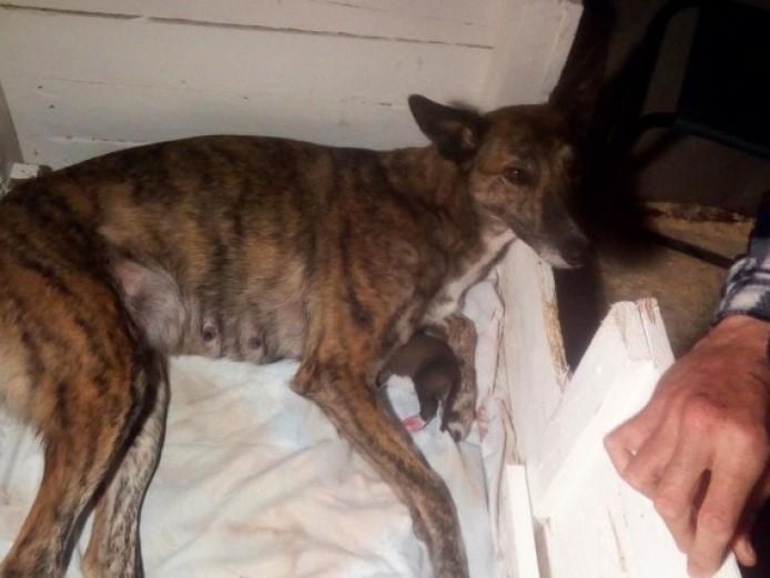 Collie Whippet Greyhound