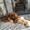 Pets  - F1 Cavapoo Pups For Sale. Ready To Leave 19.7.18