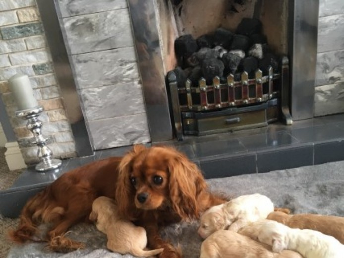 F1 Cavapoo Pups For Sale. Ready To Leave 19.7.18
