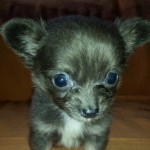 Kc Registered Chihuahua Puppy