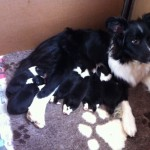 Pedigree Border Collie Pups
