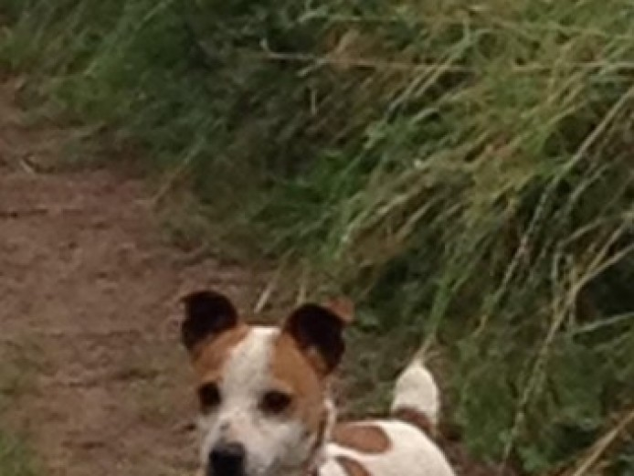 10.5 Inches Tts Jack Russell At Stud