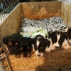 Pets  - Miniature Jack Russell Puppies