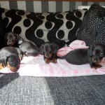 Black And Tan Miniature Dachshund Pups Carry Blue