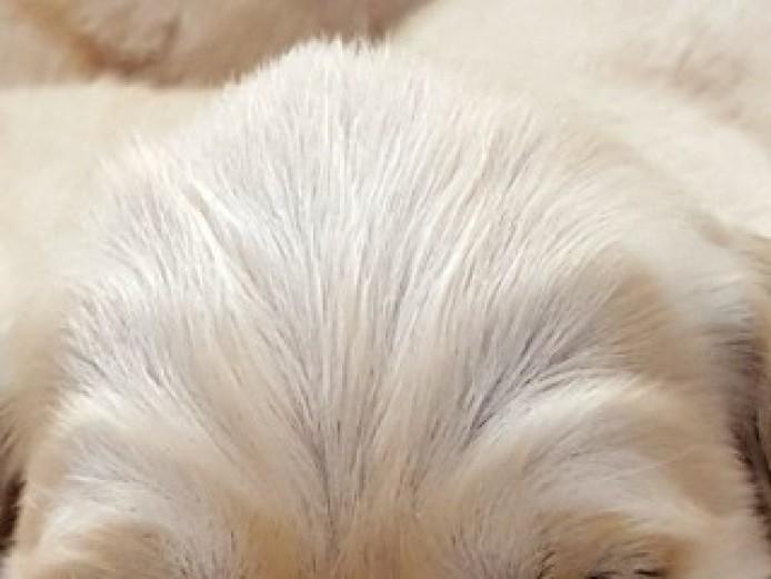 Working Golden Retriever Pups
