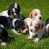 Pets  - Beautiful Beaglier Puppies .beagle X Cavaliers.