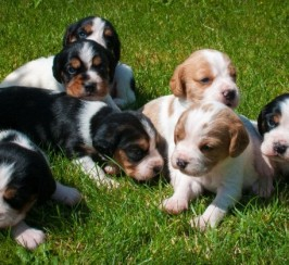 Beautiful Beaglier Puppies .beagle X Cavaliers.