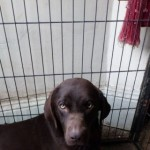 K.c. Registered Chocolate Labrador Puppies