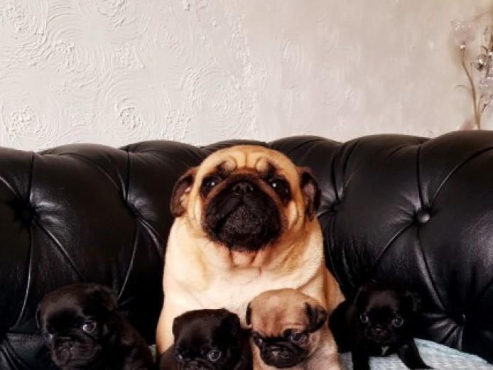 Stunning  Pure Pugs