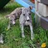 Pets  - Stunning Kc Registered Whippet Pups