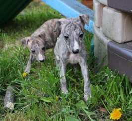 Stunning Kc Registered Whippet Pups