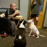 2 English Bull Terriers For Sale