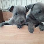 Blue Staffordshire Pups Kc Registered