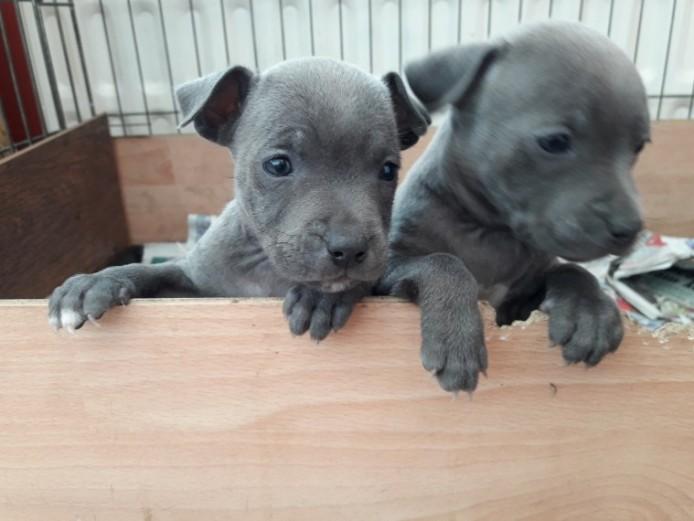 Blue Staffordshire Pups Kc Registered