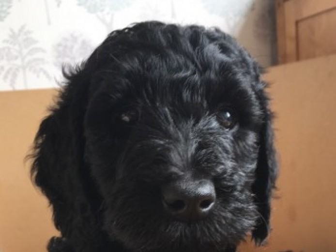 1 Labradoodle Puppy Available