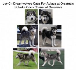 Pets  - Orsamals Alaskan Malamutes