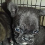 Ready Now  3.4 French Bull . 1.4 Boston Terrier .