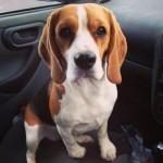 Beautiful Beagle Boy Pup