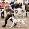Pets  - Dalmatian Puppies