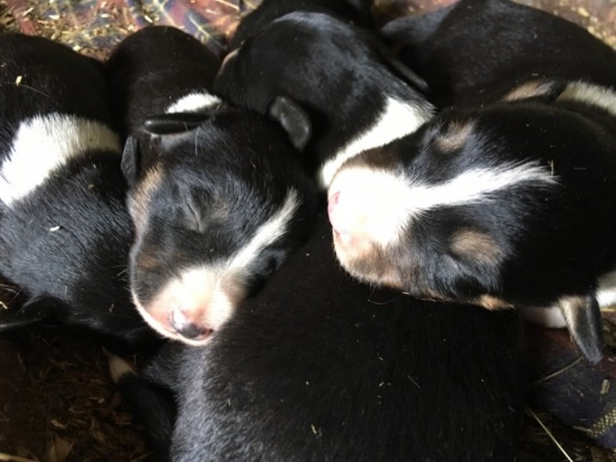 Beautiful Border Collie Pups