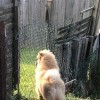 Pets  - Chow Chow Absolutely Stunning With Pet Passport