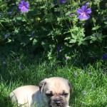 3.4 Pug Jug Puppies