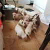 Pets  - American Bulldog Puppies