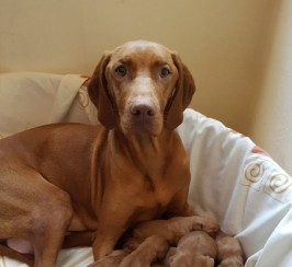 Smooth Haired Kc Hungarian Vizsla Puppies