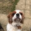 Pets  - Cavalier King Charles Spaniel Blenheim Girl