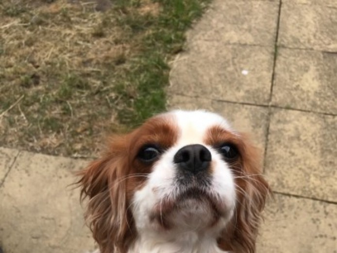 Cavalier King Charles Spaniel Blenheim Girl