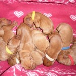 Gorgeous. Quality. Dark Golden Kc Vizsla Puppies