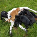 English Pointer X Irish Setter Puppies For Sale.